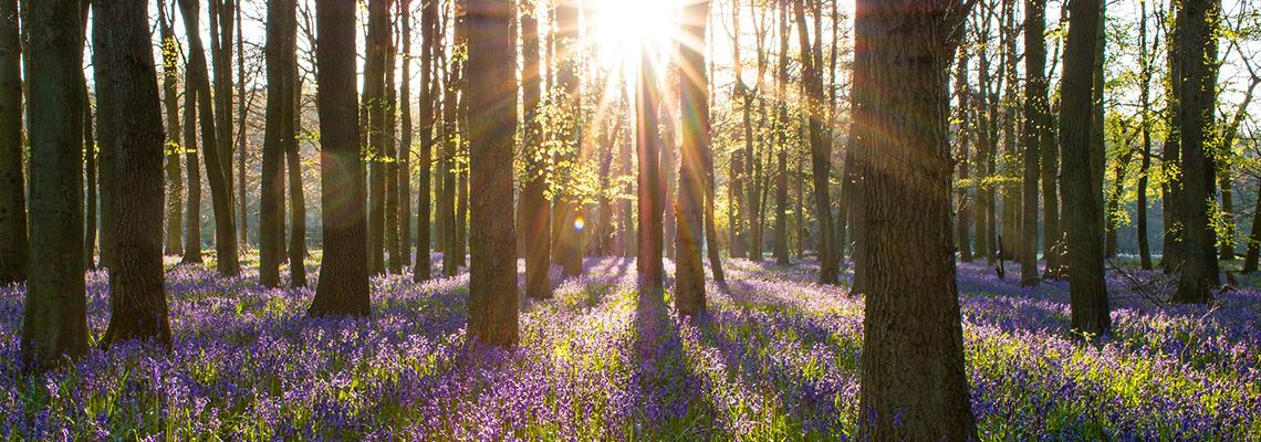 Bluebell Woods, Guernsey