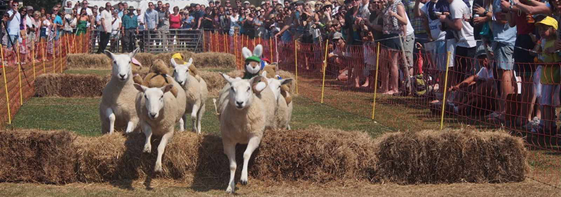 Sheep Racing in Sark