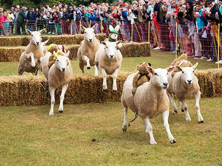 Sark Sheep Racing